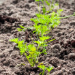 Young carrots growing in the soil in the sun — Stock Photo