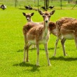 Deer in meadow — Stock Photo #26385955