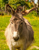 Mule in a Field in sunny day — Stock Photo