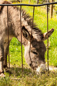 Donkey in a Field in sunny day eating grass. — Stock Photo