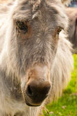 Portrait of a donkey in a Field in sunny day — Stock Photo