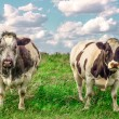 Two tough cows in meadow — Stock Photo #26843313