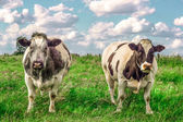 Two tough cows in the meadow — Stock Photo