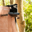 Stock Photo: Male black and white colobus Colobus guereza monkey