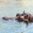 Hippopotamus hippo resting in the water. — Stock Photo