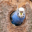 Parakeet comes out of his nest — Stock Photo