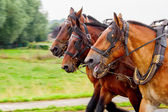 Three horses pulling a yoke and running — Stock Photo