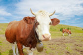 Cows in the mountains with horns and cowbells — Stock Photo