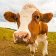Young brown spotted cow in the mountains — Stock Photo #51505591