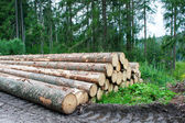 Felled pine tree trunks in the forest — Stock Photo