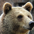 Stock Photo: Grizzly