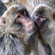 Couple of monkeys — Stock Photo