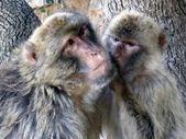 Coppia di scimmie — Foto Stock