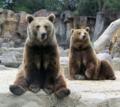 Grizzly — Stockfoto