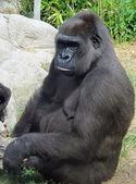 Gorila — Fotografia Stock