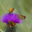 Purple thistle with butterflies — 图库照片