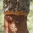 Cork oak macro — Stock Photo #12569157