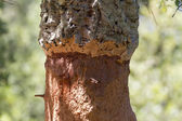 Cork oak macro — Stock Photo