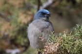 Jay sitting relaxed in tree — Stockfoto
