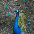 Peacock horizontal — Stock Photo