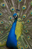 Peacock vertical — Stockfoto