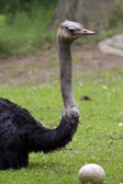Ostrich with egg — Stockfoto