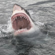 Attack great white shark — Stock Photo