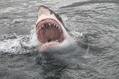 Büyük beyaz köpekbalığı saldırısı — Stok fotoğraf