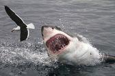 Büyük beyaz köpekbalığı saldıran martı — Stok fotoğraf