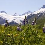Tundra flowers and Worthington Glacier — Stock Photo #27943773