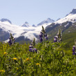 Stock Photo: Tundrflowers and Worthington Glacier