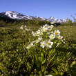 Stock Photo: White flowers in alaska