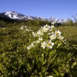 Foto Stock: White flowers in alaska