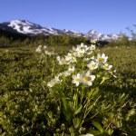 άσπρα λουλούδια στην Αλάσκα — Φωτογραφία Αρχείου
