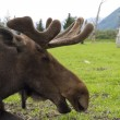 Stock Photo: Moose close up