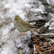 Savannah sparrow singing — 图库照片