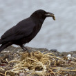 Stock Photo: Crow looking for nest material