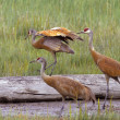 Sandhill cranes — Stock Photo