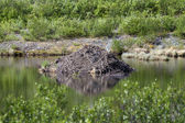плотина бобров — Стоковое фото