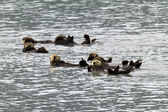 Sea otters — Stockfoto