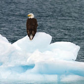 Bald eagle posing on iceberg — Stock Photo
