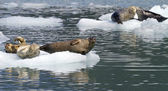 Focas descansando no iceberg — Foto Stock