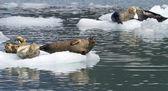 Guarnizioni poggiante su un iceberg — Foto Stock