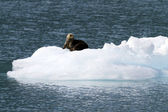 Sea otter on ice berg — Stock Photo