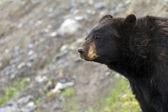 черный медведь — Стоковое фото