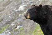 Black bear — Stockfoto