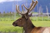Reindeer — Стоковое фото