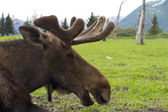 Moose close up — Stockfoto