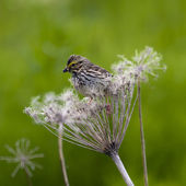 Savannah sparrow feeding — Stock Photo