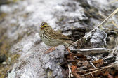 Savannah sparrow singing — Stock fotografie